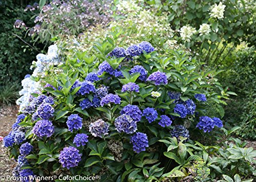 1 Gal. Cityline Venice Bigleaf Hydrangea (Macrophylla) Live Shrub, Pink, Blue and Green Flowers by Proven Winners (Image #1)