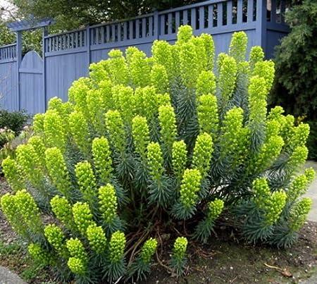 Amazon Com Mediterranean Spurge Euphorbia Characias Flower Seeds
