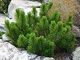 Dwarf Mugo Pine - Pinus mugo 'Mughus' 2 - Year Live Plant