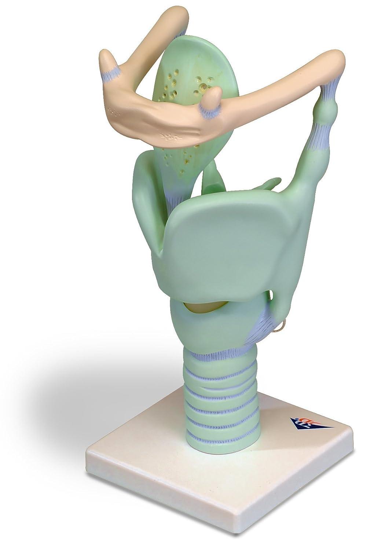 Ausgezeichnet Ohrmodell Anatomie Galerie - Physiologie Von ...