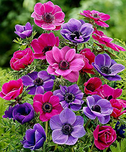 (Mix Anemone Bulbs-10 Bulbs- Summer Blooming Charming Bonsai Long Flowering Perennial Bulbs Garden Adornment)