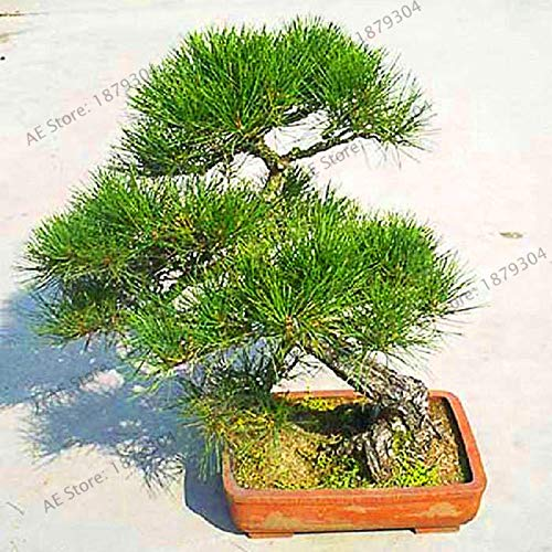 New Arrival!Millennium Plants,50 Pieces Five-Leaved Pine Tree Garden Potted Landscape Japanese Five Needle Pine Bonsai ()