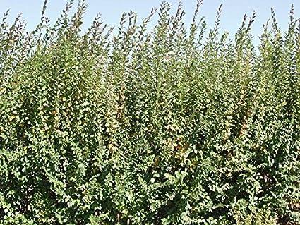Amazon.com : 1 Barefoot of Peking Cotoneaster : Garden & Outdoor