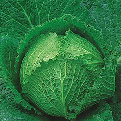 Kings Seeds - Cabbage Tundra F1 (Award of Garden Merit) - 125 Seeds