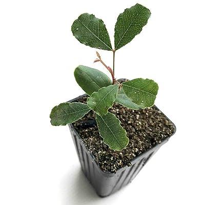 AchmadAnam - Live Plant - Bean Carob Ceratonia Siliqua 3-Inch Deep Pot Indoor Plant Yard : Garden & Outdoor