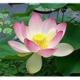 Asklepios-seeds® - 10 Semi di Nelumbo nucifera Il fior di loto asiatico