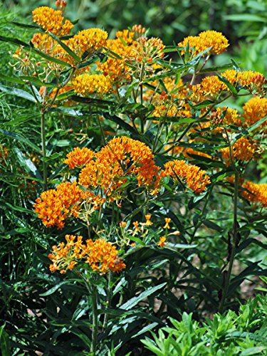 "Deer-Leerious Asclepias tuberosa ((Butterfly Weed) Perennial, 4"" Pot, Orange Flowers"