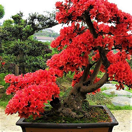 se Sakura Seeds Cherry Blossom Flower Bonsai Rare Seeds Tree ()