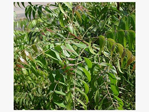 10-Neem-Tree-Seeds-Azadirachta-Indica-Nimm-Vembu-Arya-Veppu-Azad-Dirakht-Nimba