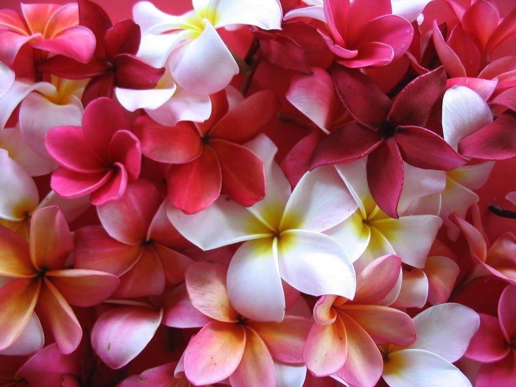 Amazon.com: 5 Frangipani MIXED PLUMERIA Rubra Lei Flower SeedsComb S ...