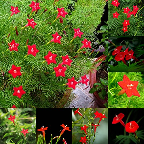 Narutosak 50 Pcs Cypress Vine Seeds Annual Climbing Plant Flower Garden Home Decor Bonsai - Cypress Vine Seeds