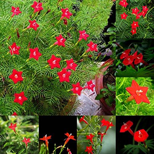 (Narutosak 50 Pcs Cypress Vine Seeds Annual Climbing Plant Flower Garden Home Decor Bonsai - Cypress Vine Seeds)