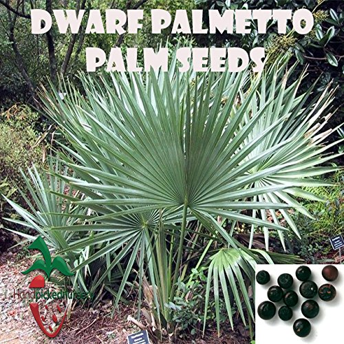 10 Dwarf Palmetto Palm seeds, ( Sabal minor ) from Hand Picked Nursery ()