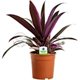 Tradescantia Sitara - 1 Plant - House / Office Live Indoor Pot Plant Tree In 12cm Pot