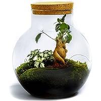 DIY Jardín en Botellas Sostenible de Botanicly: Bolder – Ficus ginseng (Altezza: ca. 30 cm, Larghezza: ca. 18 cm)