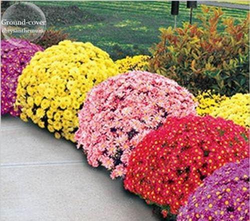 100pcs / bag cubre suelos semillas crisantemo, crisantemo planta perenne bonsai semillas de flores de margarita en maceta para el jardín de Negro: Amazon.es: Jardín