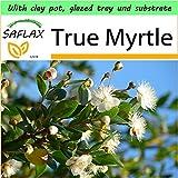 SAFLAX - Garden to Go - True Myrtle - 30 seeds - Myrtus communis