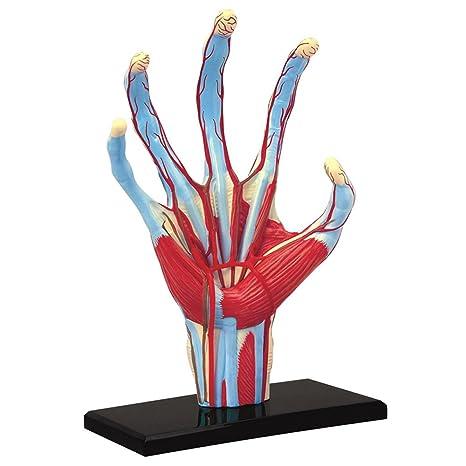 Amazon.com: Tedco Human Anatomy - Hand Model: Toys & Games