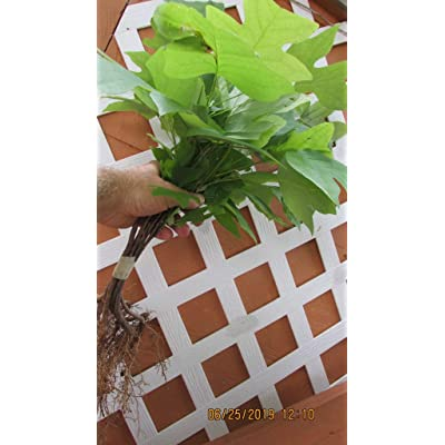 12inch Tall Flowering Yellow TulipTree seedlings Qty 15 Naturally sprouted, Rooted Starters : Garden & Outdoor