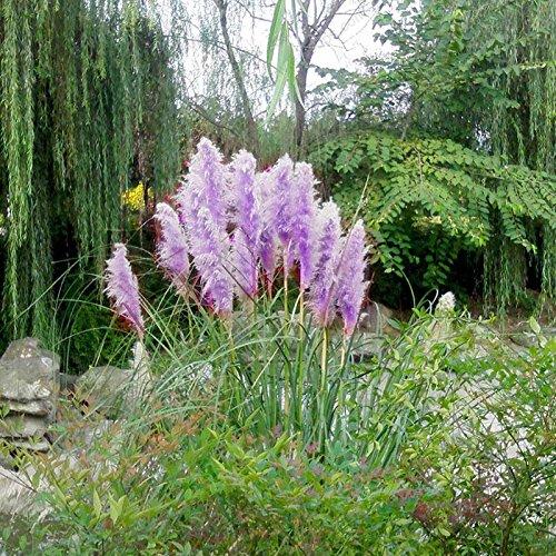 500pcs Rare Purple Pampas Grass Seeds Ornamental Plant Flowers Grass Seeds
