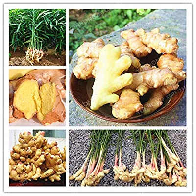 Ginger Seeds Balcony Organic Seeds Vegetables Potted Seeds for Four Seasons Plant zingiber Seeds 100 pcs/Bag : Garden & Outdoor