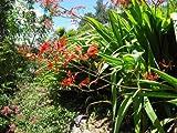 Watsonia latifolia - Hardy Exotic Bulb - Seeds
