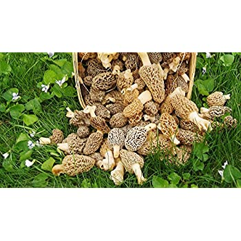 Amazon com: Morel Mushroom Spores in Sawdust Mushroom Seed Spore