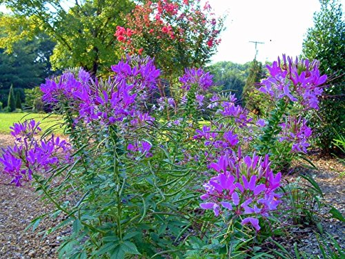 HOT PURPLE SPIDER FLOWER (CLEOME) 30 SEEDS - BOLD BRIGHT COLOR!