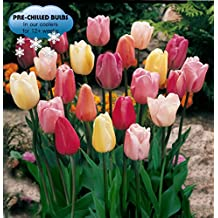Pre-chilled Mixed Triumph Tulips (25 Bulbs)