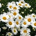Shasta Daisy Seeds - Perennial Flower - Butterfly Nectar 3,000 Seeds