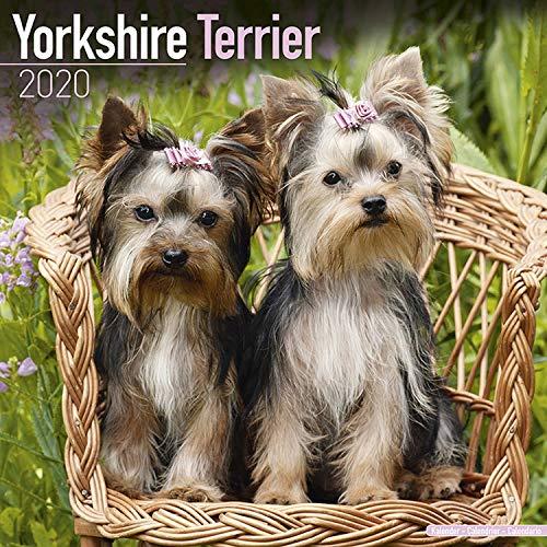 (Yorkshire Terrier Calendar 2020 - Dog Breed Calendar - Wall Calendar 2019-2020)