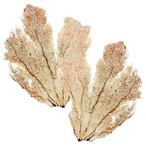 Slice of Goodness Natural Decorative Dried Coral Sea Fans for DIY Home Decor Art Projects (Set of 2 Trimmed Sea Fans, 16