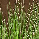 1000 Great Spike Rush Native Grass Seeds