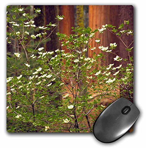 3dRose Giant Sequoia trees and dogwood blooms, California, USA,  - Mouse Pad, 8 by 8 inches -
