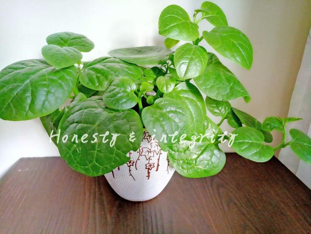 SONIRY 500PCS Heirloom Vert Malabar /épinards Bonsai l/égumes Pots /épinards d/élicieux Feuilles de Salade Bon go/ût sans OGM Jardin Plante 100pcs