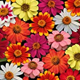Outsidepride Zinnia Zahara Flower Seed Mix - 50 Seeds