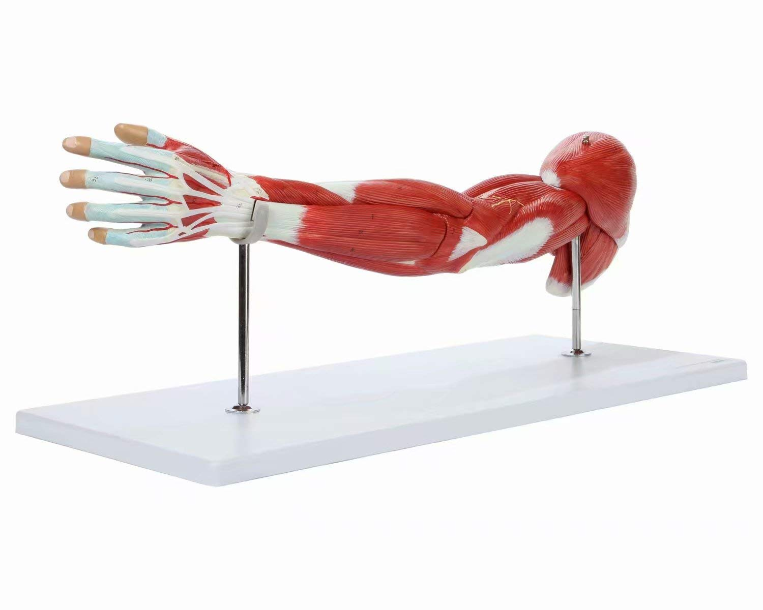 Alkita Muscular Arm Anatomy Model Life Size Arm Model Shows Muscles