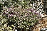 50 Seeds of Thymus Capitatus - Meditteranean Zaatar