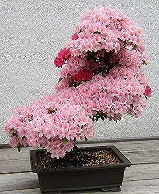 10pcs/lot japanese sakura seeds ,bonsai flower Cherry Blossoms
