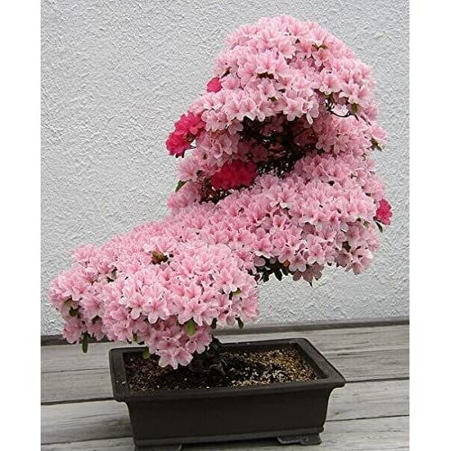 10pcs/lot japanese sakura seeds ,bonsai flower Cherry Blossoms