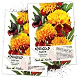 Seed Needs, Tiger Eye Marigold (Tagetes patula) Twin Pack of 500 Seeds Each