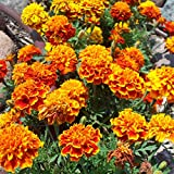 French Marigold Flower Garden Seeds - Sparky Mixture - 4 Oz - Annual Flower Gardening Seeds - Tagetes patula