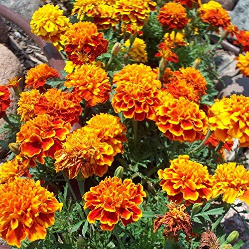 French Marigold Flower Garden Seeds - Sparky Mixture - 4 Oz - Annual Flower Gardening Seeds - Tagetes patula by Mountain Valley Seed Company