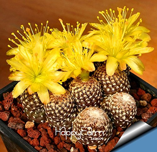 Best-Selling!10pcs/Lot cactus Rebutia variety flowering color cacti rare cactus seed office mini plant succulent