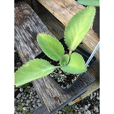 Risalana Succulents, 4in Potted Plant, kalanchoe crenatodiagremontiana : Garden & Outdoor