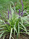 Liriope muscari 'Variegata' (Variegated Lilyturf) Perennial, varigated foliage with lavender flowers, 1 - Size Container