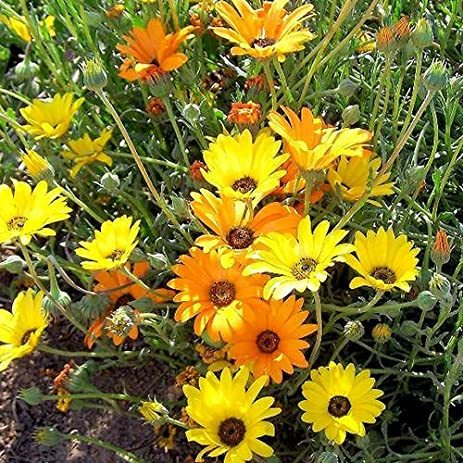 Amazon todds seeds african daisy dimorphotheca sinuata todds seeds african daisy dimorphotheca sinuata stick seed 1g seed packet beautiful mightylinksfo