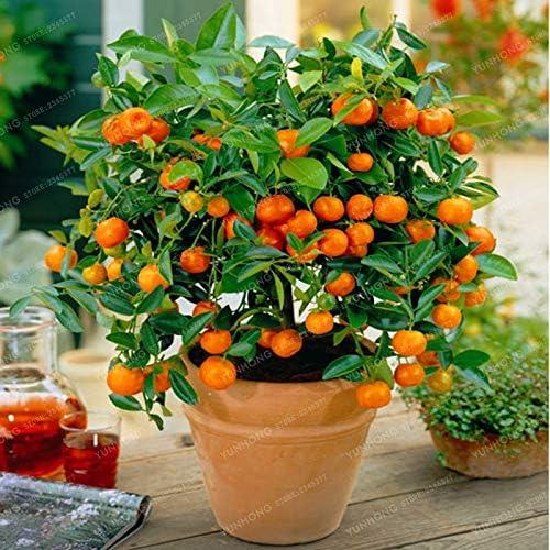 Bonsai Boys Flowering Tangerine Citrus Bonsai Tree Seedless kishu mandarin