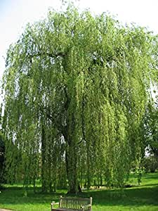 1 Starter Plant of Babylonica Weeping Willow Tree in Gallon Pot