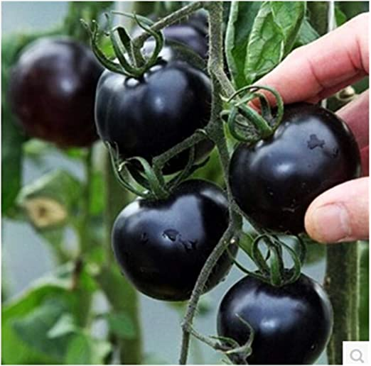 100 semillas/pack semillas de tomate perla negro balcón verduras ...